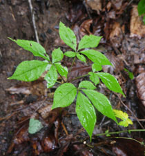 산양삼 (wood-cultivated ginseng)